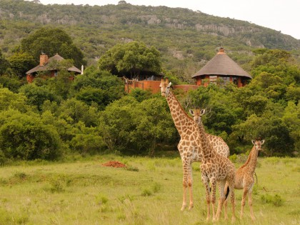 Leshiba Wilderness Giraffe at Lodge (hi-res image)