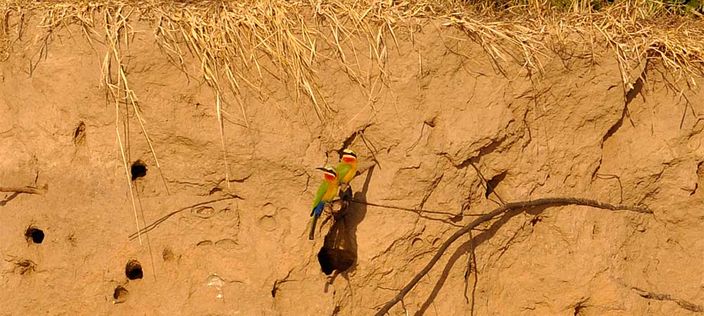 Bee-Eaters in Upper Zambezi River banks Zambia