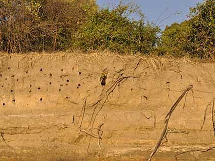 Bee-eater birds Upper Zambezi Zambia (hi-res JPG)