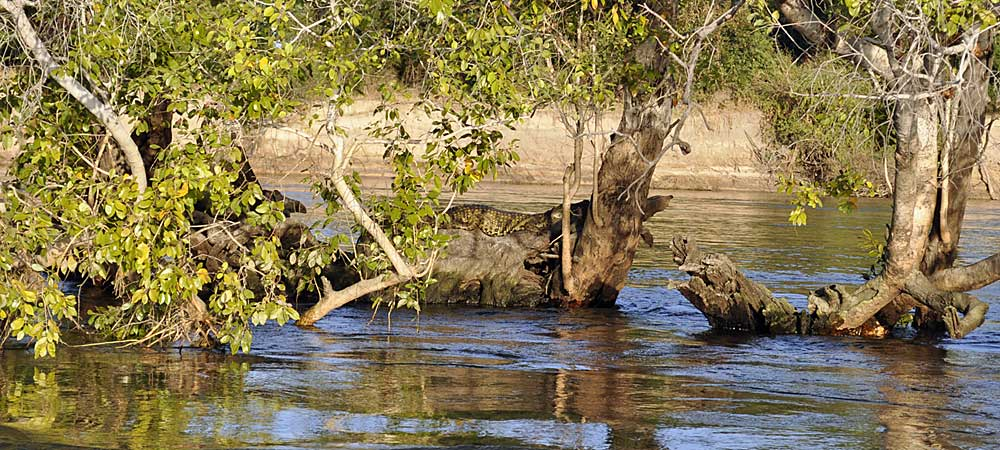 Crocodile in tree Chundu Island Upper Zambezi River Zambia