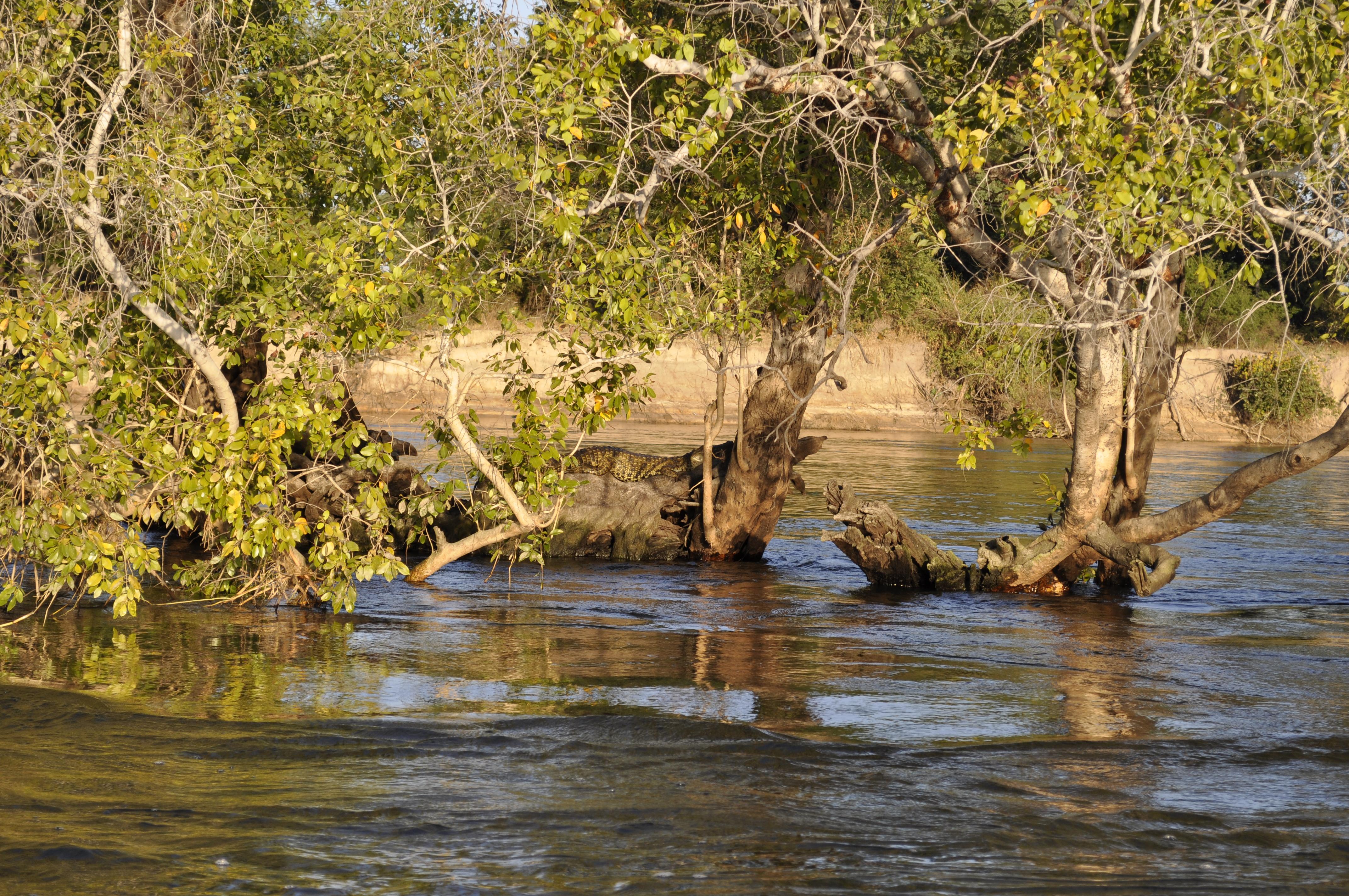 Crocodile near Chundu Island Upper Zambezi Zambia