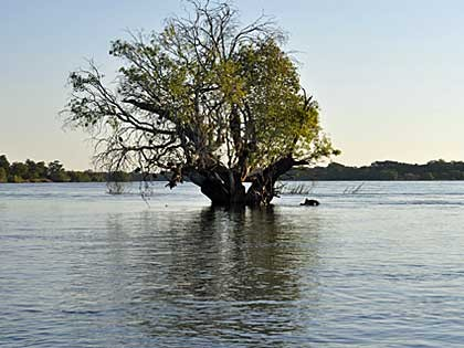 Hippo by submerged tree in the Upper Zambezi Zambia (hi-res JPG)